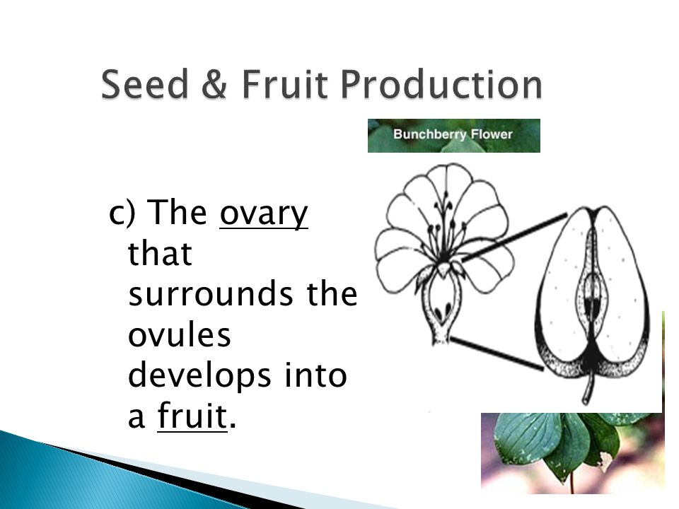 c) The ovary that surrounds the ovules develops into a fruit.