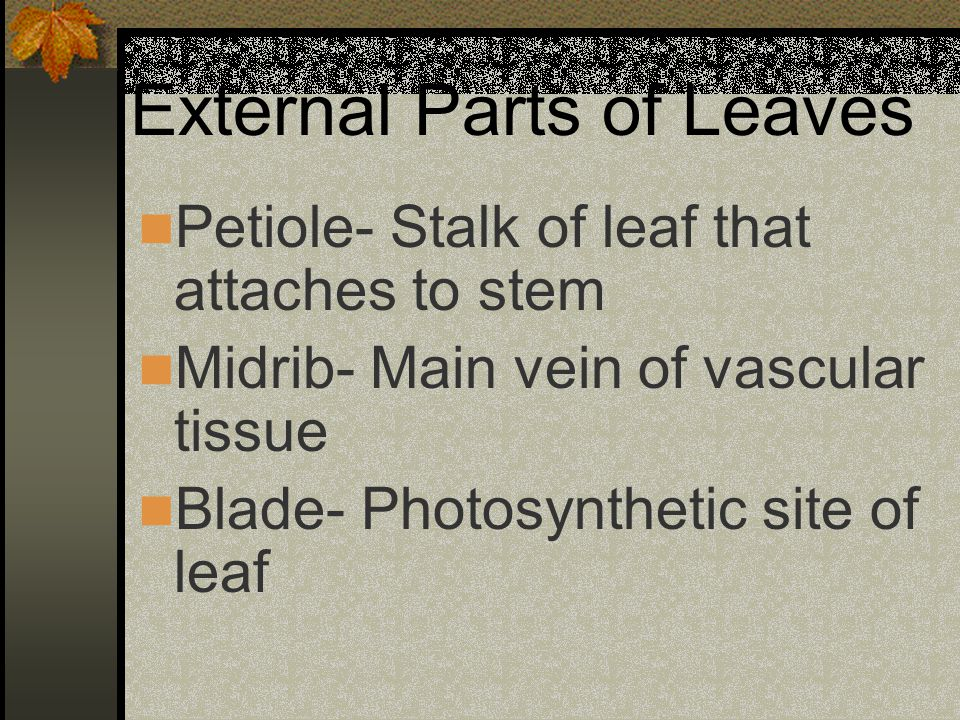 External Parts of Leaves Petiole- Stalk of leaf that attaches to stem Midrib- Main vein of vascular tissue Blade- Photosynthetic site of leaf