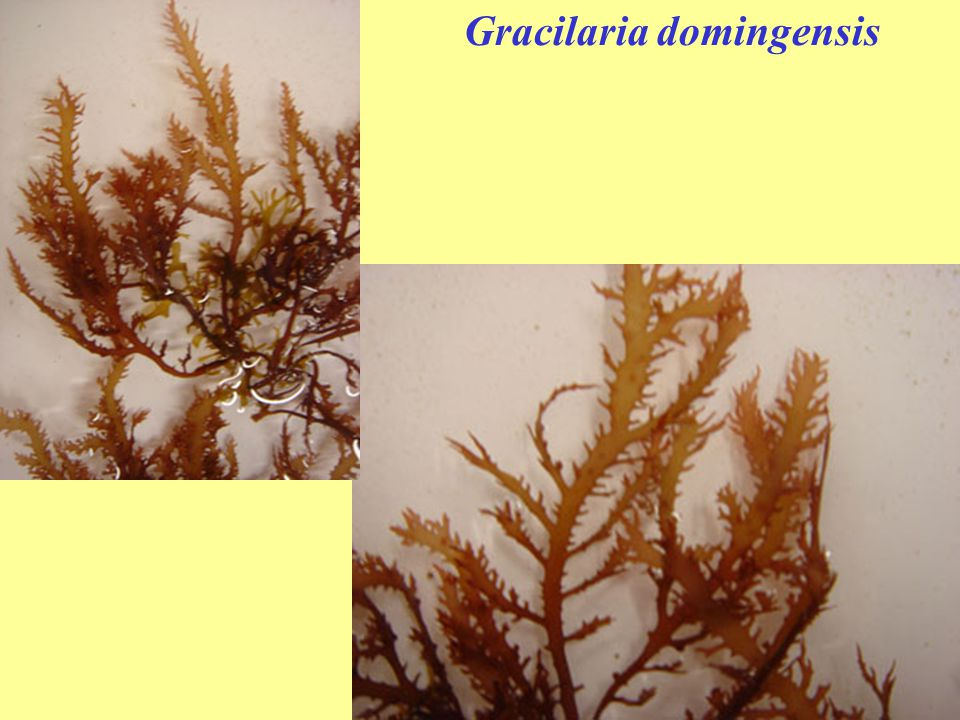 Gracilaria domingensis