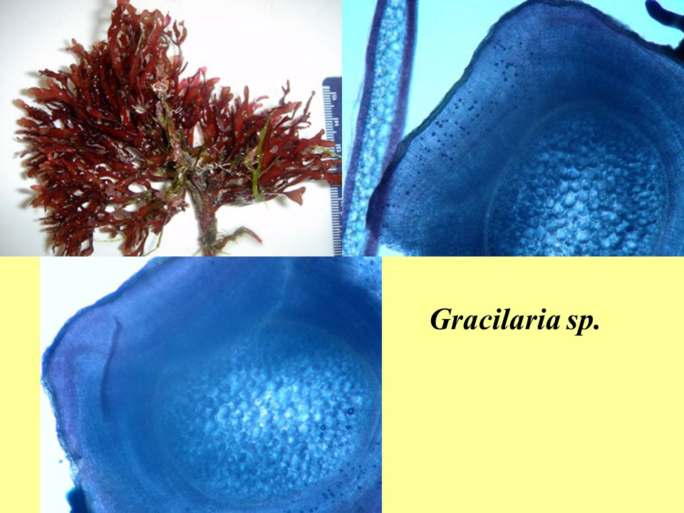 Gracilaria sp.