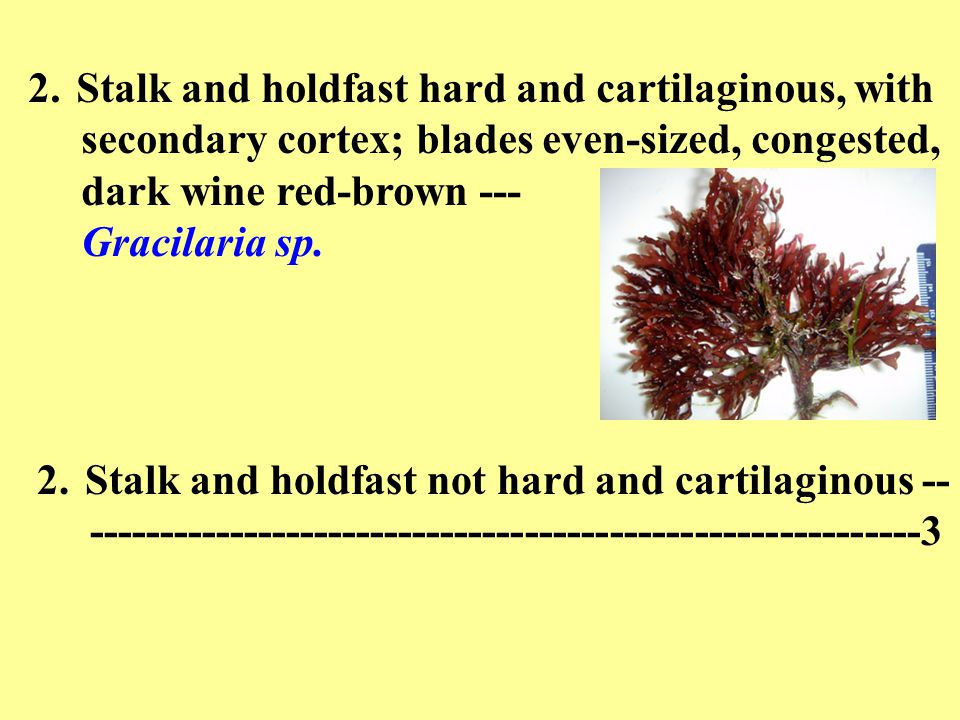 2.Stalk and holdfast hard and cartilaginous, with secondary cortex; blades even-sized, congested, dark wine red-brown --- Gracilaria sp. 2.Stalk and h