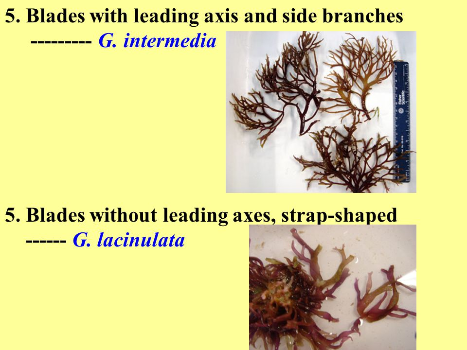 5. Blades with leading axis and side branches --------- G.
