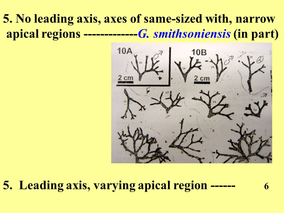 5. No leading axis, axes of same-sized with, narrow apical regions -------------G.
