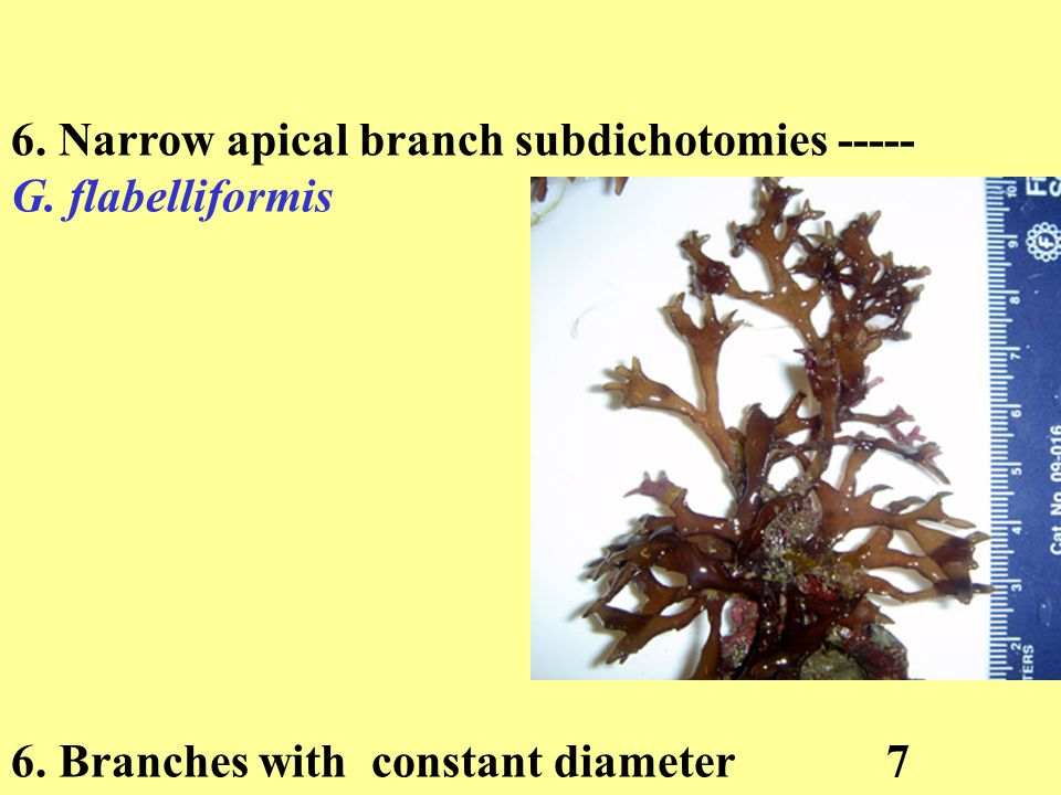 6. Narrow apical branch subdichotomies ----- G. flabelliformis 6. Branches with constant diameter 7