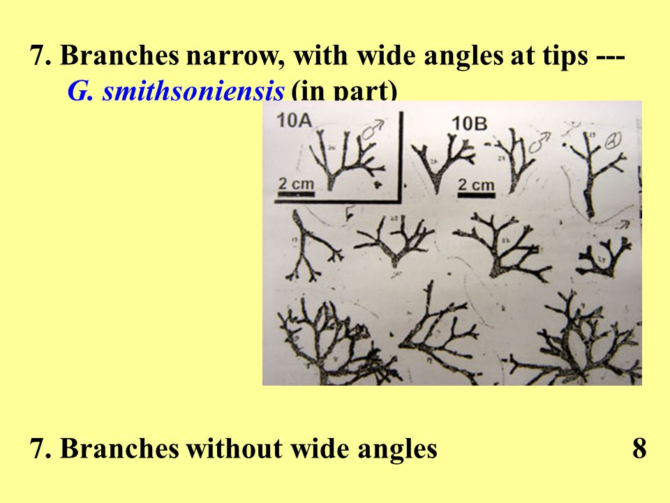 7. Branches narrow, with wide angles at tips --- G. smithsoniensis (in part) 7. Branches without wide angles8