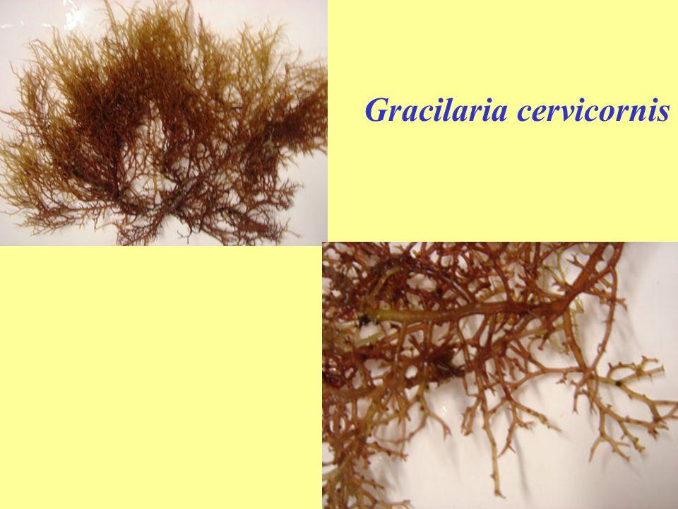 Gracilaria cervicornis