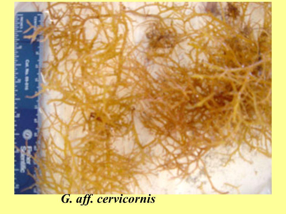 G. aff. cervicornis