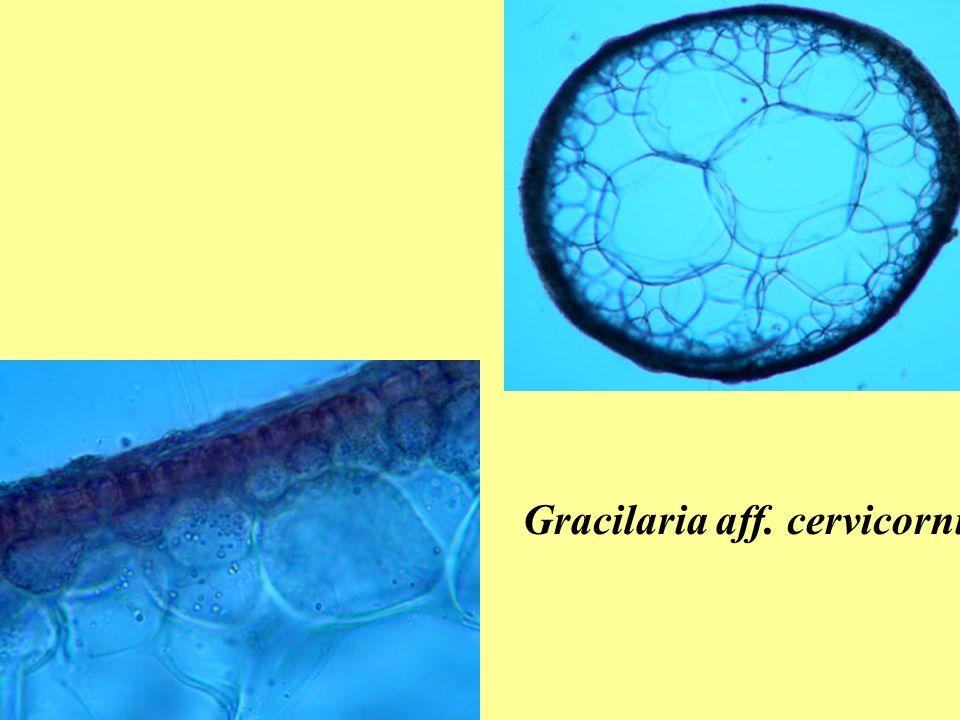 Gracilaria aff. cervicornis