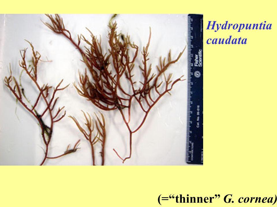 Hydropuntia caudata (= thinner G. cornea)