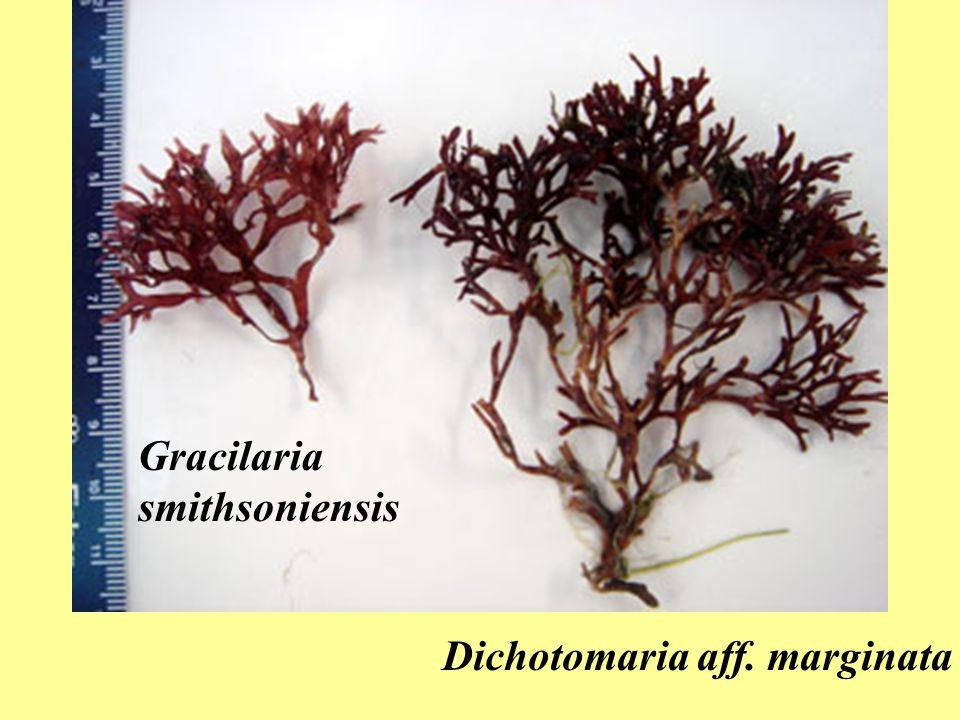 Gracilaria smithsoniensis Dichotomaria aff. marginata