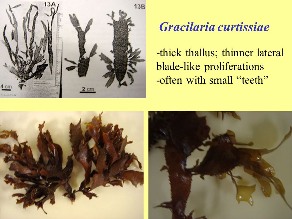 "Gracilaria curtissiae -thick thallus; thinner lateral blade-like proliferations -often with small ""teeth"""