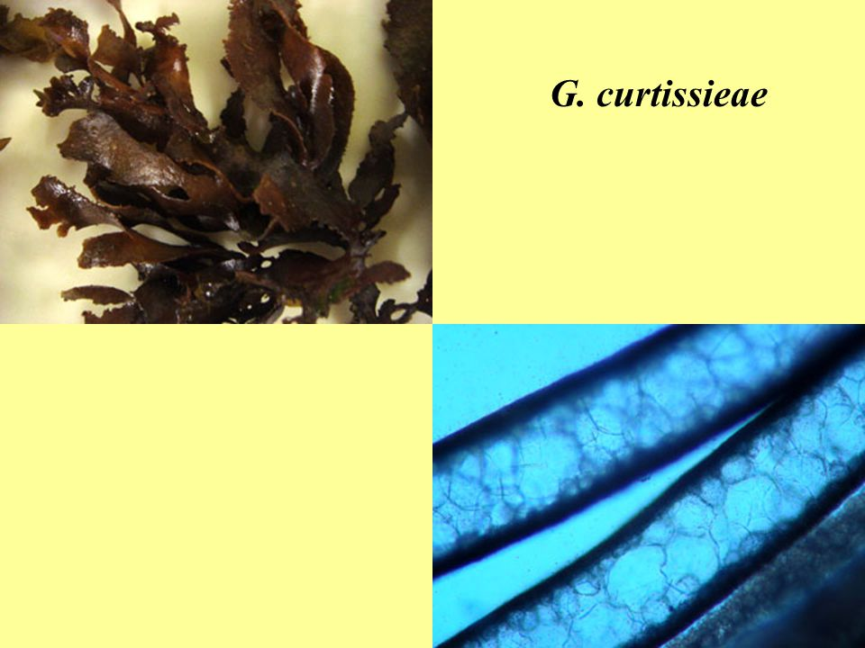 G. curtissieae