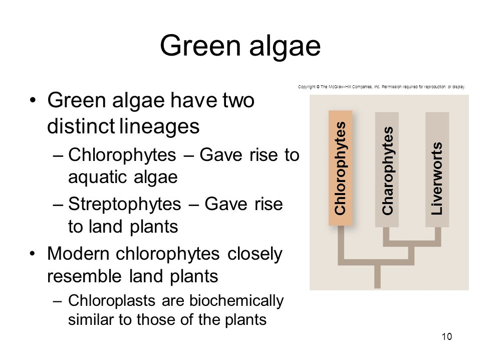 Green algae Green algae have two distinct lineages –Chlorophytes – Gave rise to aquatic algae –Streptophytes – Gave rise to land plants Modern chlorophytes closely resemble land plants –Chloroplasts are biochemically similar to those of the plants 10 CharophytesLiverwortsChlorophytes Copyright © The McGraw-Hill Companies, Inc.