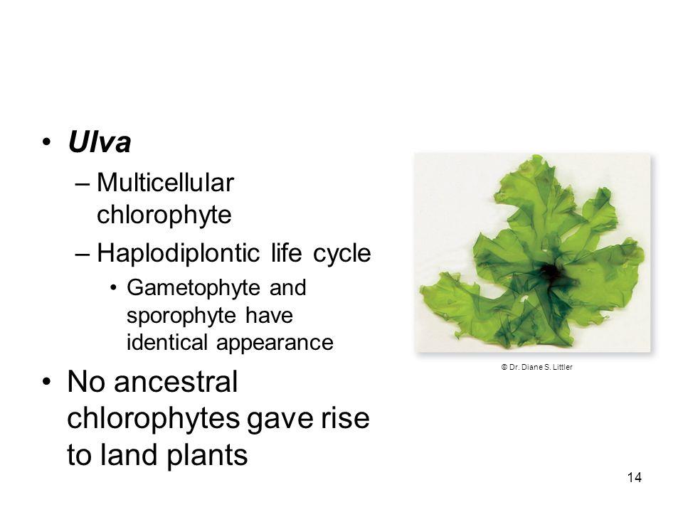 Ulva –Multicellular chlorophyte –Haplodiplontic life cycle Gametophyte and sporophyte have identical appearance No ancestral chlorophytes gave rise to land plants 14 © Dr.