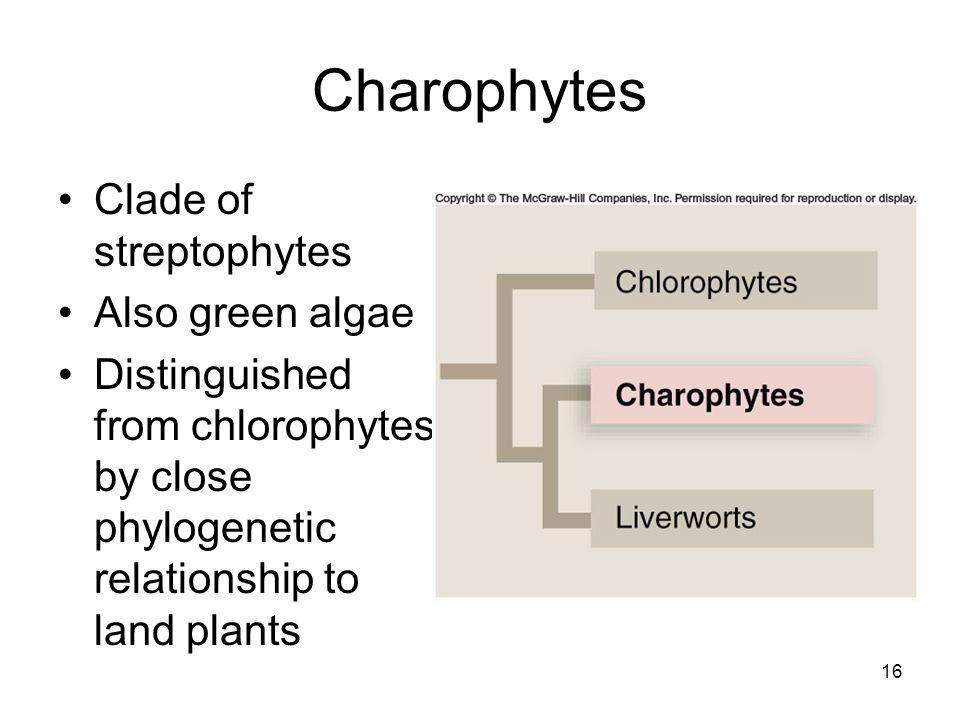 Charophytes Clade of streptophytes Also green algae Distinguished from chlorophytes by close phylogenetic relationship to land plants 16