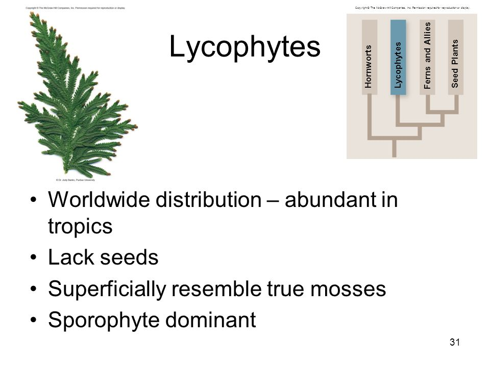 Lycophytes Worldwide distribution – abundant in tropics Lack seeds Superficially resemble true mosses Sporophyte dominant 31 Copyright © The McGraw-Hi
