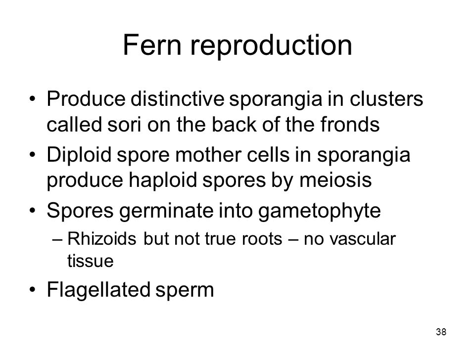 Fern reproduction Produce distinctive sporangia in clusters called sori on the back of the fronds Diploid spore mother cells in sporangia produce hapl