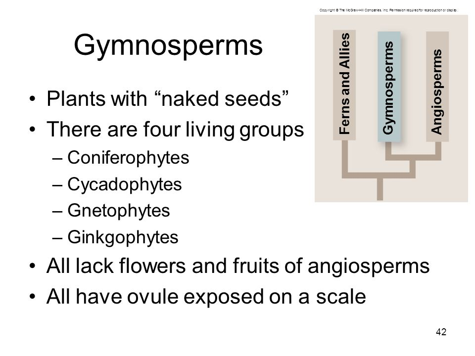 """Gymnosperms Plants with """"naked seeds"""" There are four living groups –Coniferophytes –Cycadophytes –Gnetophytes –Ginkgophytes All lack flowers and fruit"""