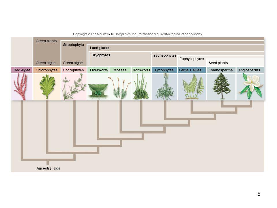 5 Copyright © The McGraw-Hill Companies, Inc. Permission required for reproduction or display. Ancestral alga ChlorophytesCharophytesLiverwortsHornwor