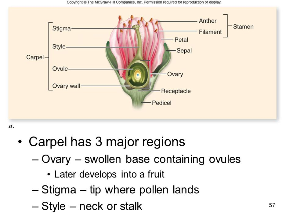 Carpel has 3 major regions –Ovary – swollen base containing ovules Later develops into a fruit –Stigma – tip where pollen lands –Style – neck or stalk
