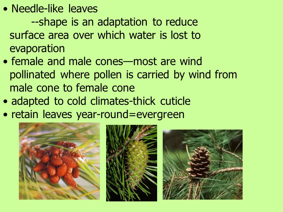 Needle-like leaves --shape is an adaptation to reduce surface area over which water is lost to evaporation female and male cones—most are wind pollinated where pollen is carried by wind from male cone to female cone adapted to cold climates-thick cuticle retain leaves year-round=evergreen