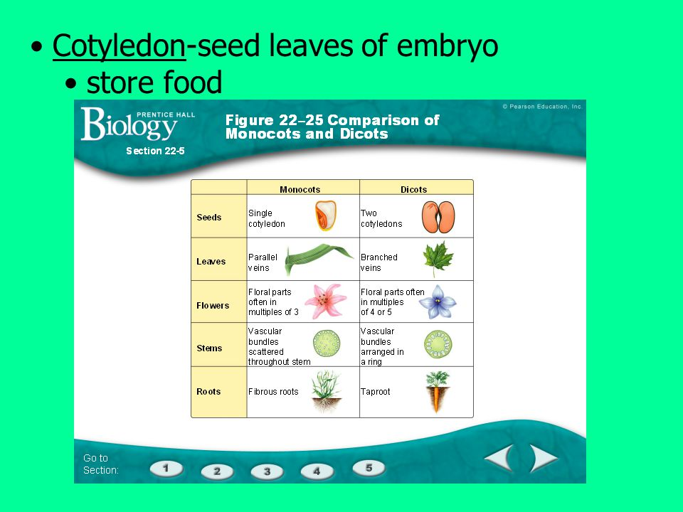 Cotyledon-seed leaves of embryo store food