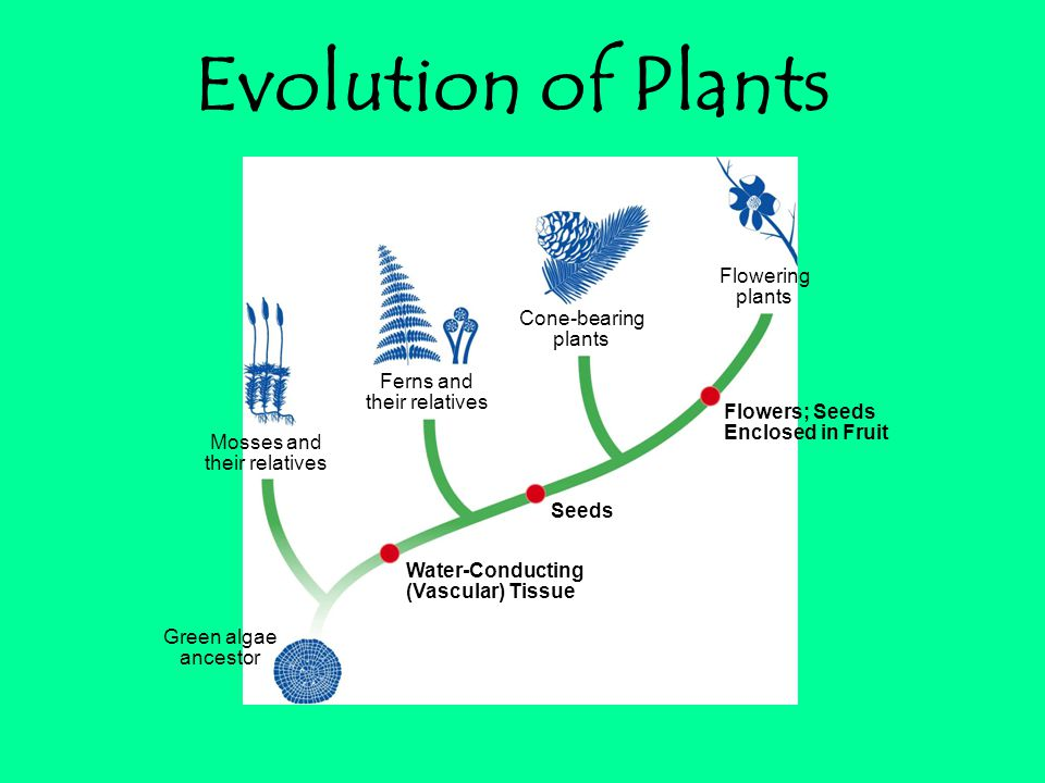Flowering plants Cone-bearing plants Ferns and their relatives Mosses and their relatives Green algae ancestor Flowers; Seeds Enclosed in Fruit Seeds Water-Conducting (Vascular) Tissue Evolution of Plants