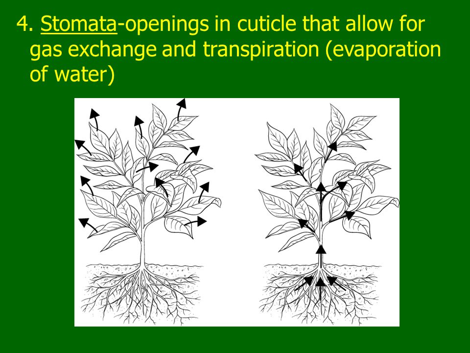 4. Stomata-openings in cuticle that allow for gas exchange and transpiration (evaporation of water)