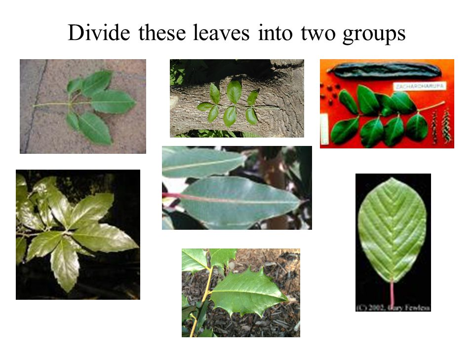 Divide these leaves into two groups