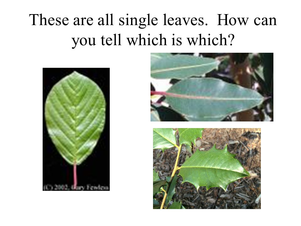 These are all single leaves. How can you tell which is which?