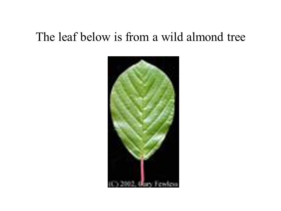 The leaf below is from a wild almond tree