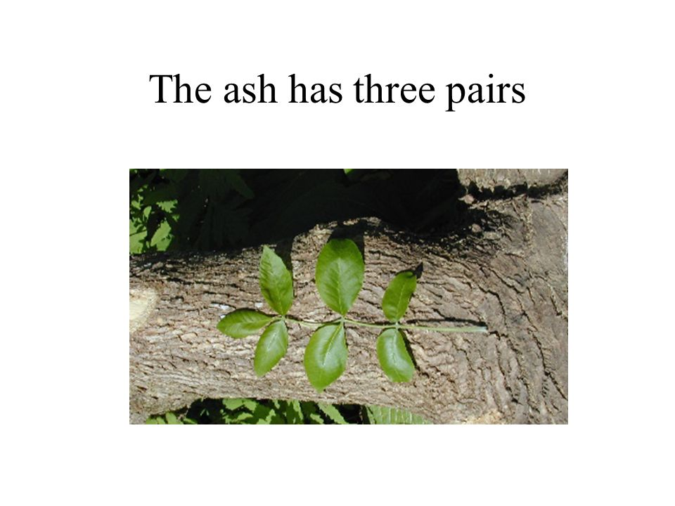 The ash has three pairs