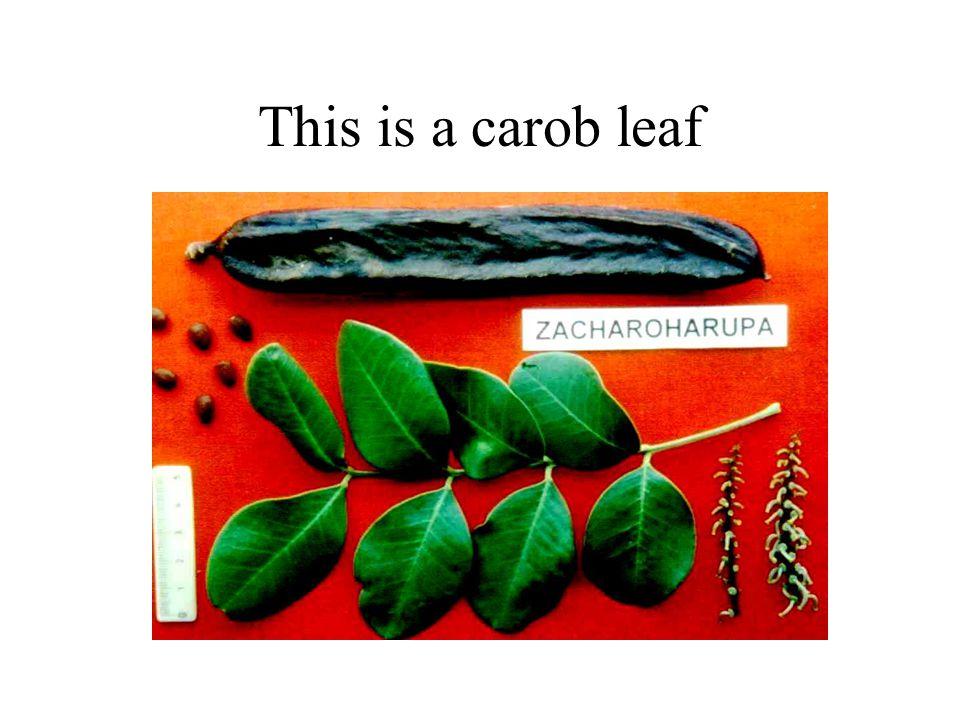 This is a carob leaf