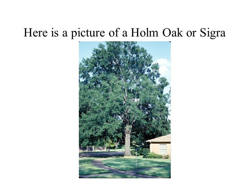 Here is a picture of a Holm Oak or Sigra