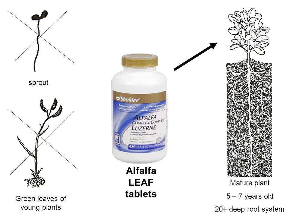 Mature plant 5 – 7 years old 20+ deep root system sprout Green leaves of young plants Alfalfa LEAF tablets