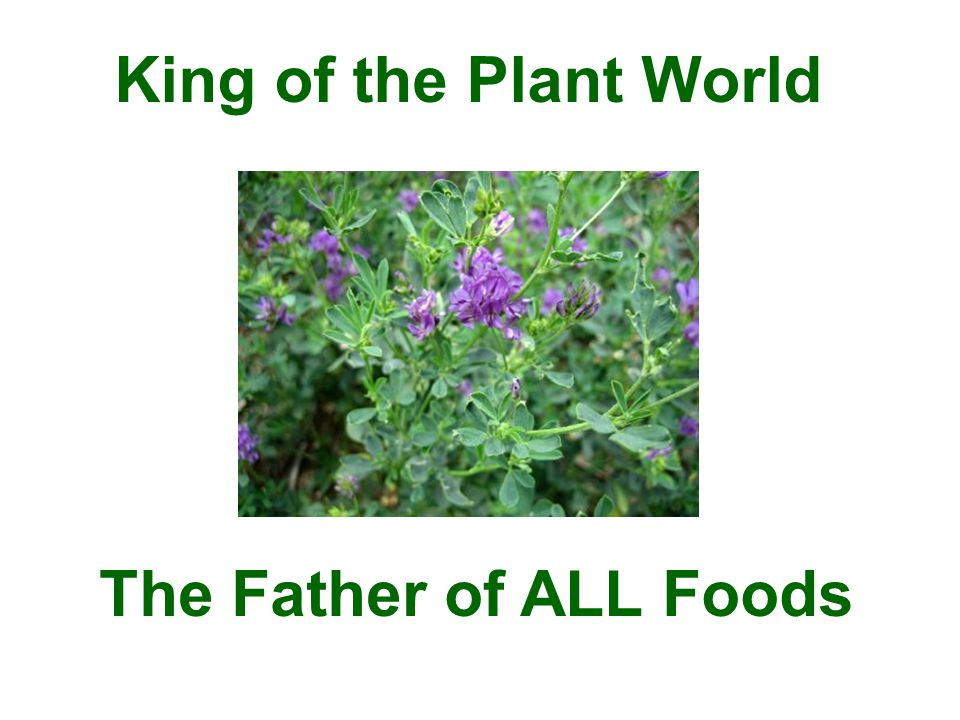 For the highest amount of chlorophyll content (cleansing properties) in the leaves, harvest MUST occur at peak maturity.