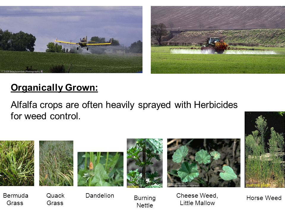 Horse Weed Cheese Weed, Little Mallow Burning Nettle DandelionBermuda Quack Grass Grass Organically Grown: Alfalfa crops are often heavily sprayed with Herbicides for weed control.