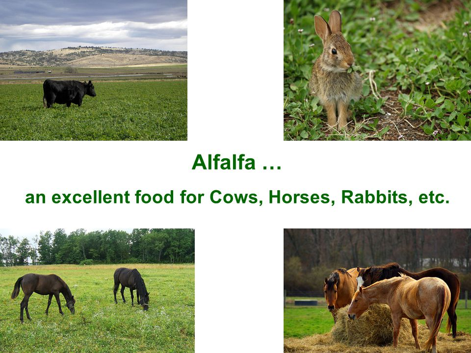 Alfalfa … an excellent food for Cows, Horses, Rabbits, etc.