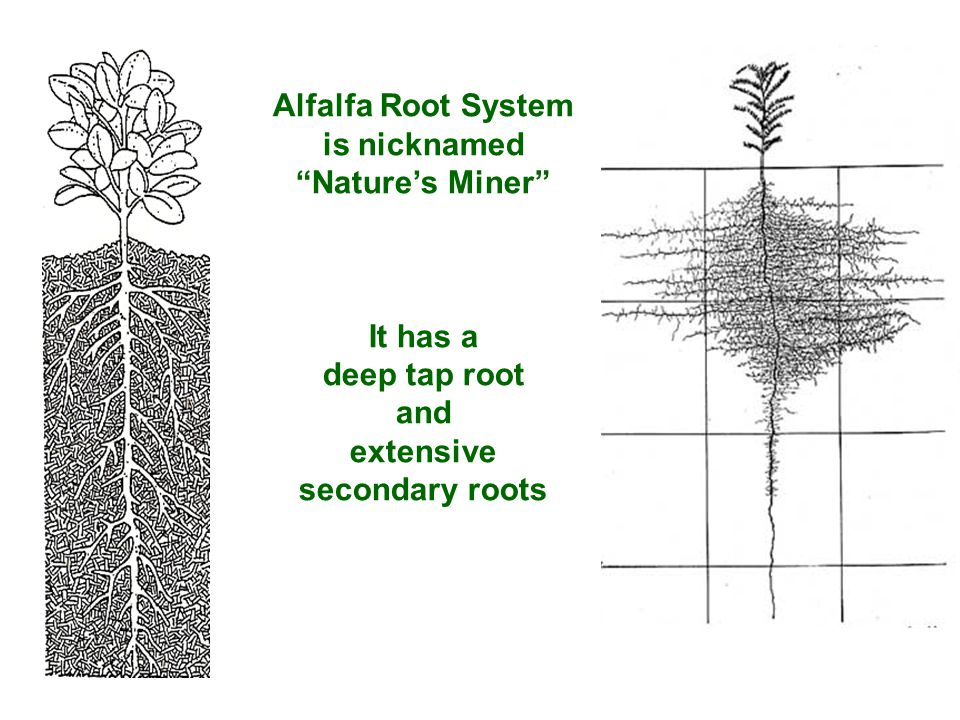 Alfalfa Root System is nicknamed Nature's Miner It has a deep tap root and extensive secondary roots