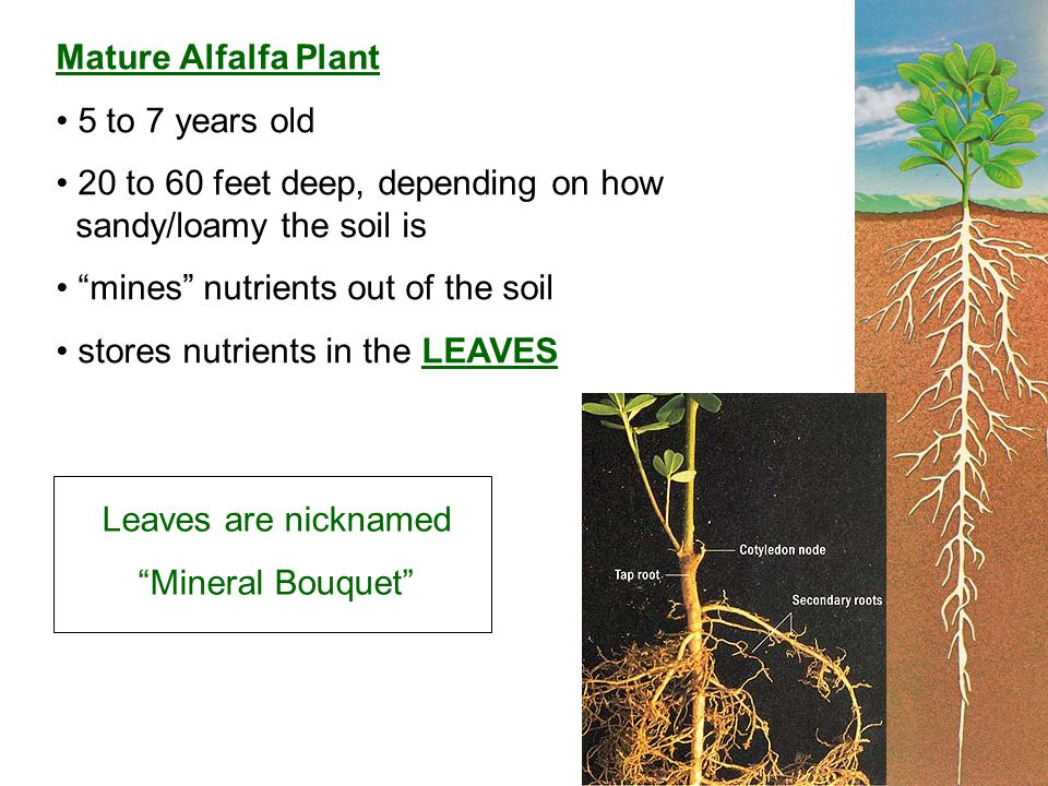 Mature Alfalfa Plant 5 to 7 years old 20 to 60 feet deep, depending on how sandy/loamy the soil is mines nutrients out of the soil stores nutrients in the LEAVES Leaves are nicknamed Mineral Bouquet