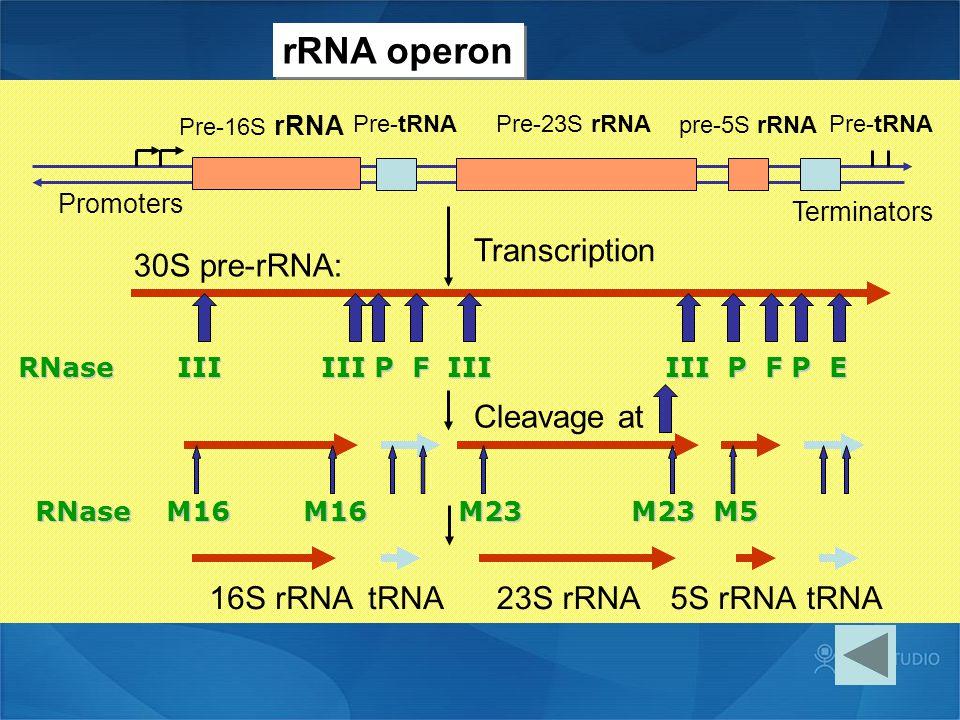 Pre-16S rRNA Pre-tRNAPre-23S rRNA pre-5S rRNA Pre-tRNA Promoters Terminators 30S pre-rRNA: Transcription Cleavage at 16S rRNAtRNA23S rRNA5S rRNAtRNA R