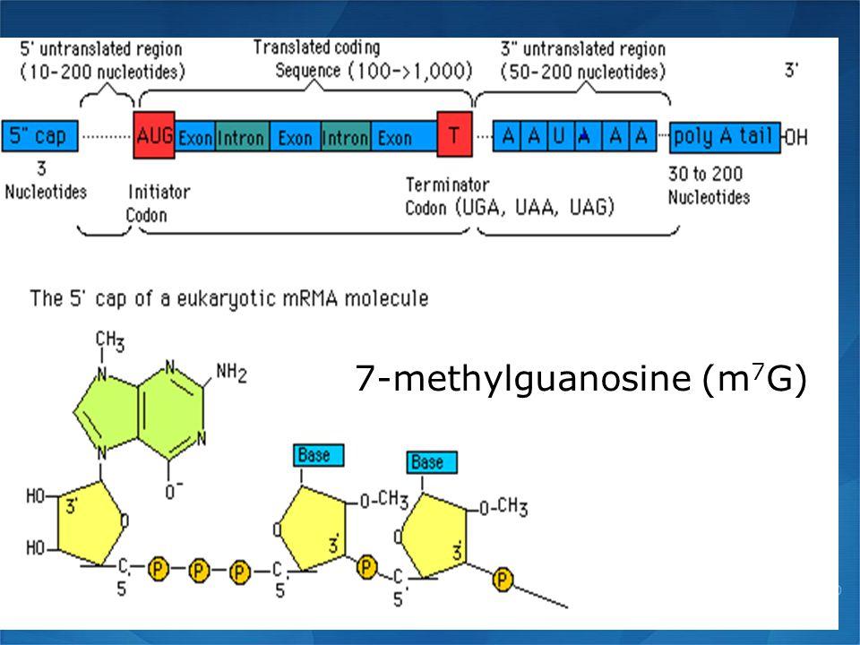 7-methylguanosine (m 7 G)