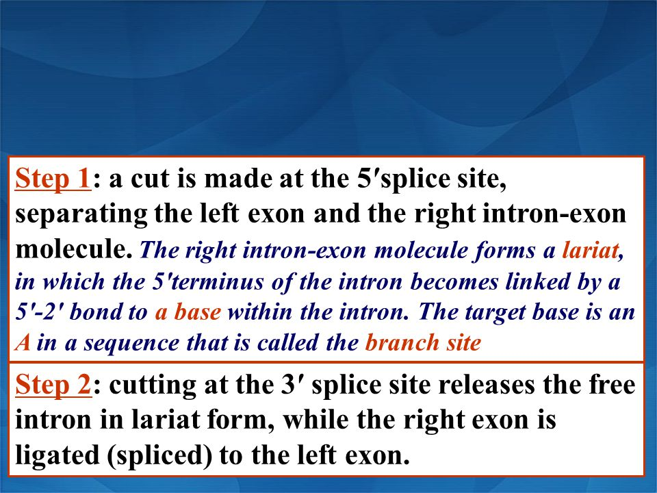 Step 1: a cut is made at the 5′splice site, separating the left exon and the right intron-exon molecule. The right intron-exon molecule forms a lariat