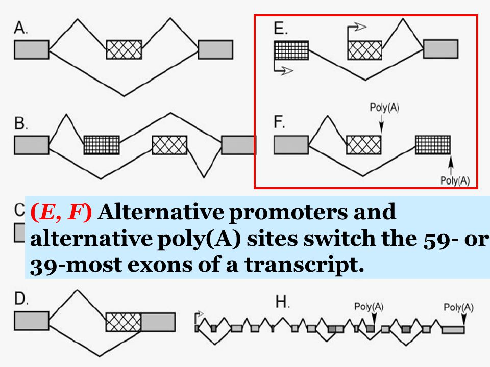 (E, F) Alternative promoters and alternative poly(A) sites switch the 59- or 39-most exons of a transcript.