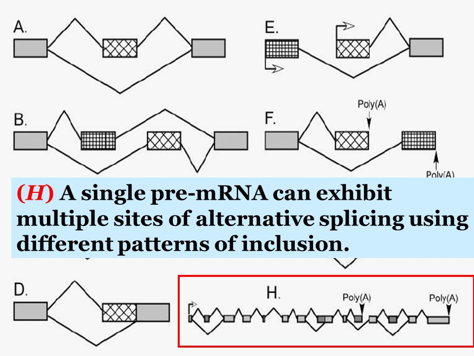 (H) A single pre-mRNA can exhibit multiple sites of alternative splicing using different patterns of inclusion.