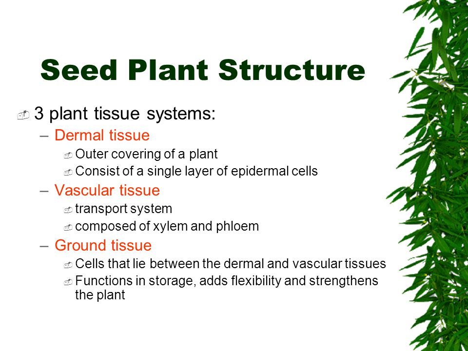 Seed Plant Structure  3 plant tissue systems: –Dermal tissue  Outer covering of a plant  Consist of a single layer of epidermal cells –Vascular tis