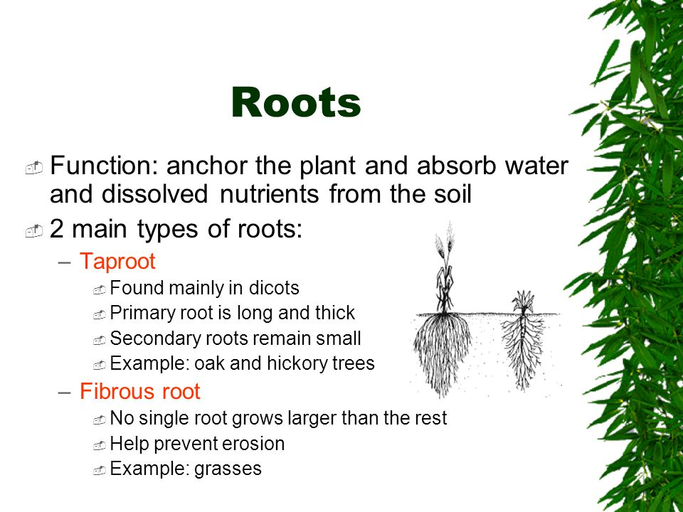 Roots  Function: anchor the plant and absorb water and dissolved nutrients from the soil  2 main types of roots: –Taproot  Found mainly in dicots 