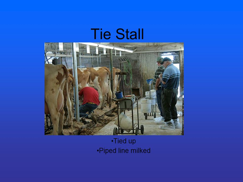 Tie Stall Tied up Piped line milked