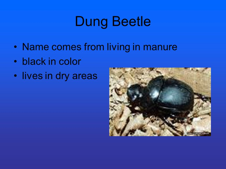 Dung Beetle Name comes from living in manure black in color lives in dry areas