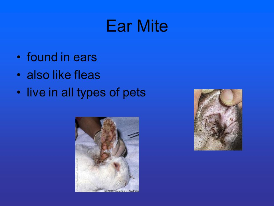 Ear Mite found in ears also like fleas live in all types of pets